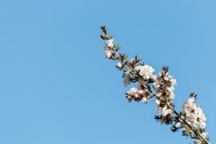 Manuka tree twig with white flowers against blue sky. Closeup of manuka tree twig with white flowers against blue sky Stock Image
