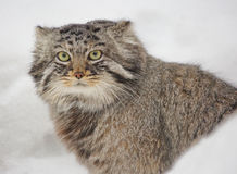 Manul, ή γάτα του Παλλάς, ή άγρια γάτα Στοκ Φωτογραφίες