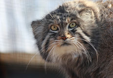 Manul Photo stock