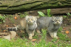 Manul Stock Images