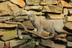 Manul Stock Photo