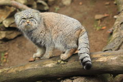 Manul Stock Image