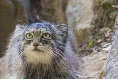Manul cat portrait stock images