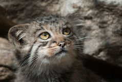 Manul Royalty Free Stock Image