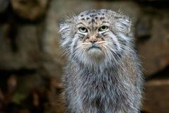 Manul of de kat van Pallas ` s, Otocolobus manul, leuke wilde kat stock afbeeldingen