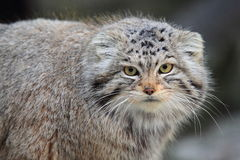 Manul detail Royalty Free Stock Image