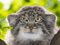 The Manul Face. Pallas`s cat - Otocolobus manul - portrait on a tree stock images