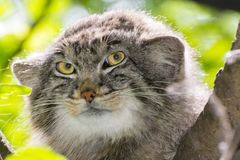 The Manul Face. Pallas`s cat - Otocolobus manul - portrait on a tree royalty free stock image