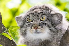 The Manul Face. Pallas`s cat - Otocolobus manul - portrait on a tree royalty free stock photo