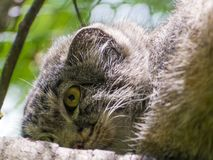 The Manul Face. Pallas`s cat - Otocolobus manul - portrait on a tree royalty free stock images