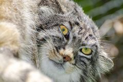 The Manul Face. Pallas`s cat - Otocolobus manul - portrait on a tree royalty free stock photography