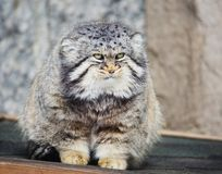 Free Manul, Or Pallas Cat, Or Wild Cat. Stock Image - 113964681