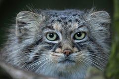 Manul Otocolobus кота ` s Pallas Стоковая Фотография RF