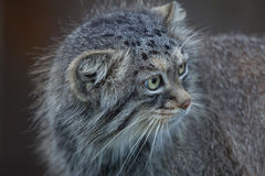 Manul Otocolobus кота ` s Pallas Стоковое Фото
