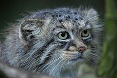 Manul Otocolobus кота ` s Pallas Стоковые Фото