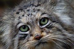 Manul, pallaγάτα, άγρια γάτα Στοκ Φωτογραφίες