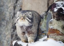 Manul Pallas cat. Stock Images