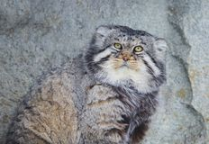 Manul Pallas cat. Royalty Free Stock Images