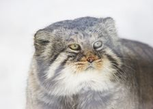 Manul. Pallas cat. Royalty Free Stock Photography