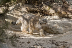 Manul Royalty Free Stock Images