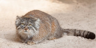 Manul Royalty Free Stock Photography