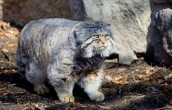 Manul, or Pallas cat, or wild cat. It is a wild cat living in Central and Central Asia Stock Image