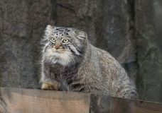 Manul (Pallas 'cat) Stock Image
