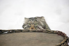 Manul (Pallas 'cat) Royalty Free Stock Images