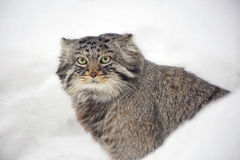 Manul (Pallas 'cat) Royalty Free Stock Image