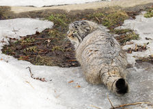 Manul (Pallas 'cat) Royalty Free Stock Photo