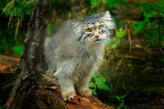 Manul or Pallas`s cat, Otocolobus manul, cute wild cat from Asia. Wildlife scene from the nature. Animal in the nature habitat,. Forest in Nepal royalty free stock image