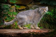 Manul or Pallas`s cat, Otocolobus manul, cute wild cat from Asia. Wildlife scene from the nature. Animal in the nature habitat,. Forest in Nepal stock photography