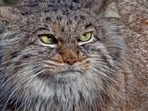 The Manul or Pallas`s cat Otocolobus manul was named after the German naturalist Peter Simon Pallas stock photography