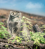 Manul in the wild Royalty Free Stock Images