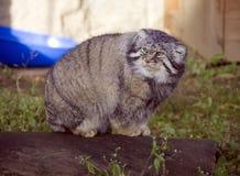 manulkatten är en tjock päls för rovdjurs- däggdjurs- djura långsamma tjocka ben, gula ögon royaltyfria foton