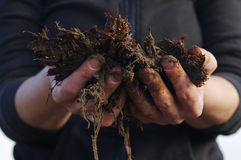 Manure in the farmer's hands, in female hands. Royalty Free Stock Photo