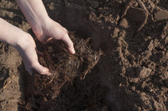 Manure in the farmer's hands, in female hands. Stock Photo