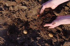 Manure in the farmer's hands, landing of potatoes. Royalty Free Stock Photography