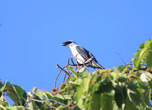 Manus Cuckooshrike Royalty Free Stock Photography
