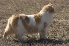 Manx Cat Breed. Typical pose for this breed Royalty Free Stock Images