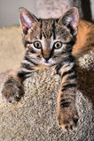 Manx Cat Kitten Lizenzfreies Stockbild