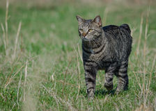Manx cat out for a stroll. Manx Cat out for a walk in the fields Stock Images