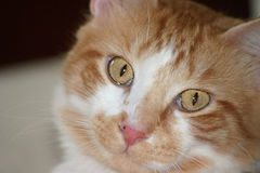 Manx Face 2. Facial expression of a Manx Cat Royalty Free Stock Images