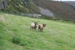Manx Loaghtan sheep stock photo