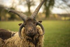 Manx Rams Stock Image