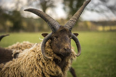 Manx Rams Stock Photography