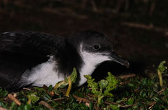 Manx Shearwater at night Royalty Free Stock Photos
