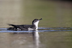 Manx shearwater, Puffinus puffinus Stock Photography