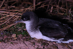 Manx Shearwater on Skokholm Island. A Manx Shearwater on the ground at night on Skokholm Island, Pembrokeshire, South Wales Royalty Free Stock Photos
