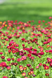 Many alive red flowers Royalty Free Stock Images